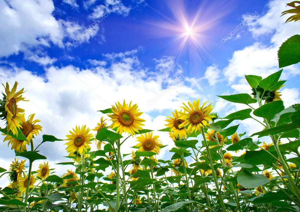 Fun sunflowers growth against blue sky. — Stock Photo #11373197