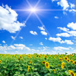 Nice summer field of sunflowers and sun in the blue sky. - Stock Photo