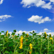 Golden sunflowers plantation. - Stock Photo