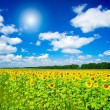 Fine image of golden plantation sunflowers. - Stock Photo