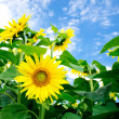 Fine summer field of sunflowers . - Stock Photo
