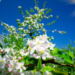 Blooming apple tree. - Stock Photo