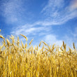 Summer view of ripe wheat. — Stock Photo #11571924