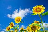 Fun sunflowers growth against blue sky. — Stock Photo