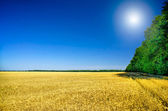 Image of of golden wheat. — Stock Photo
