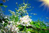 盛开的苹果树. — 图库照片