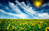 Cloudy blue sky and sunflowers field. — Stock Photo