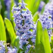 Field full with Hyacinths in Holland — Stock Photo #10770059