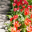 Spring field with colorful tulips — Stock Photo