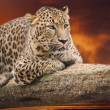 Stock Photo: Leopard to lie on log against sunset