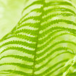Stock Photo: Bright green leaves of a fern as background