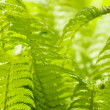 Bright green leaves of a fern as background — Stock Photo #10929426