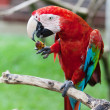 Big red parrot of the macaw sits on a branch and eats fruit — Stock Photo #10929431