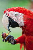 Big red parrot of the macaw eats fruit — Stock Photo