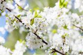 Brancas cereja flores na primavera — Foto Stock