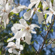 Blossoming magnolia zvezdchaty (Magnolia stellata) — Stock Photo