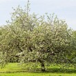 Big apple-tree on a green glade in park — Stock Photo