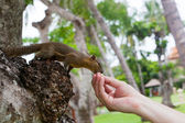 American squirrel takes a delicacy from hands of the person — Stock Photo