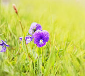 Plant of wild violet at mountain slope — Stock Photo