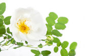 Branch of a blossoming white dogrose — Stock Photo