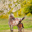 Horse with a foal on a mountain pasture — Stock Photo
