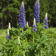 Wild lupine flowers — Stock Photo