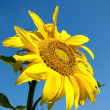 Yellow sunflower — Stock Photo #11917355