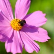 Bee on cosmos flower - Stock Photo