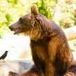 Ursus arctos - Stock Photo