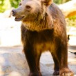 Ursus arctos — Stock Photo