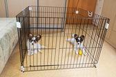 Два щенка Покрытый сосочками — Стоковое фото
