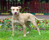 American Pit Bull Terrier standing — Stock Photo