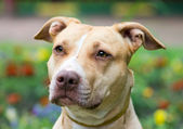 American Pit Bull Terrier close-up — Stock Photo