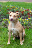 American Pit Bull Terrier sitting — Stock Photo