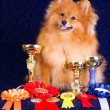 Pomeranian with awards — Stock Photo