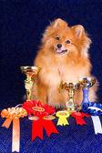 Pomeranian with awards — Stock Photo
