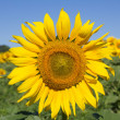 Blooming sunflowers — Stock Photo #11462360