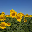 Blooming sunflowers — Stock Photo