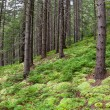 Stock Photo: Coniferous forest