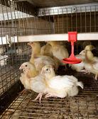 養鶏場 — ストック写真