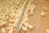 Groep van enkele dagen oude baby kip — Stockfoto