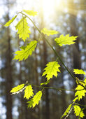 Maple branches — Stock Photo