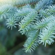 Blue spruce — Stock Photo #11032490