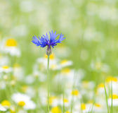 Blue cornflower — Stockfoto