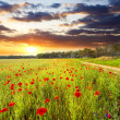 Red poppies against the sunset sky — Stock Photo