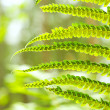 Green Fern Leave — Stock Photo #11643595