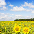 Sunflowers on a farmer field — Stock Photo