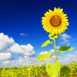Sunflower on a farmer field — Stock Photo