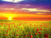 Poppies against the sunset sky — Stock Photo