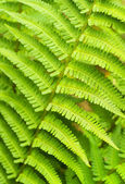 Green Fern Leaves — Stock Photo